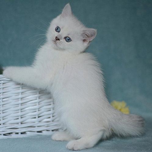 Orianna British shorthair female kitten