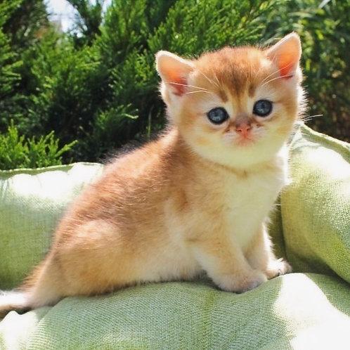684 Nikolasha  British shorthair male kitten