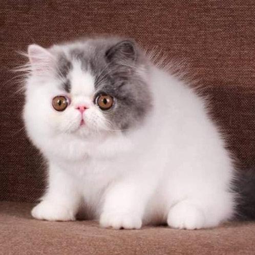 107 Funtik  Persian  male kitten