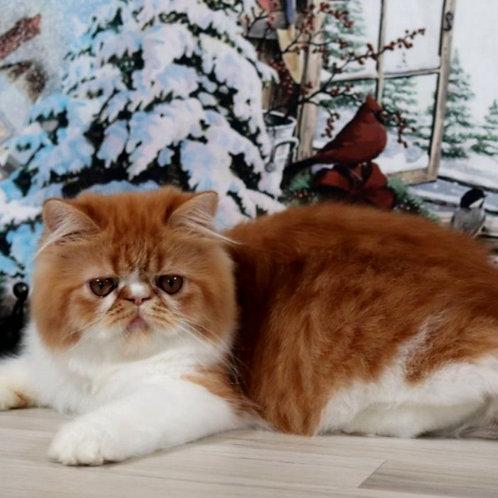 17 Darsy  Persian  female kitten