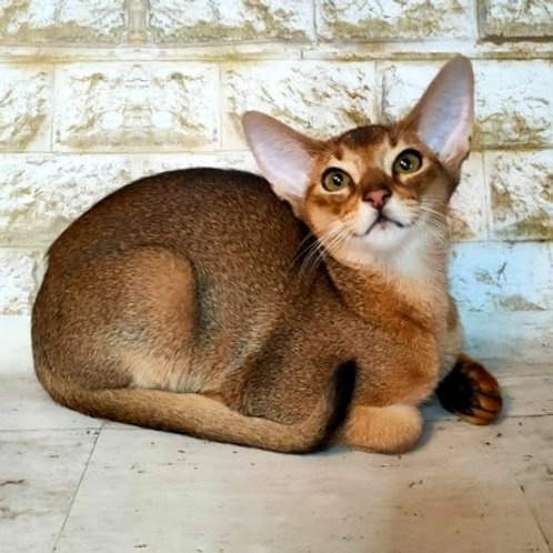 99 Beatrice   purebred Abyssinian female kitten