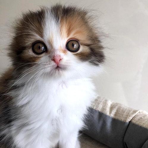 636 Kell   Scottish fold longhair female kitten