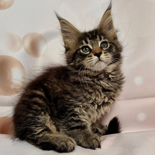 336 Regina  Maine Coon female kitten