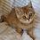 Thumbnail: 787 Iden  British shorthair male kitten