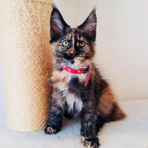 387 Glafira  Maine Coon female kitten