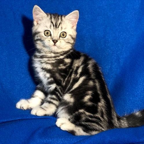 322 Charlotte    Scottish straight shorthair female kitten