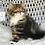 Thumbnail: 617 Miledy      Scottish straight longhair female kitten