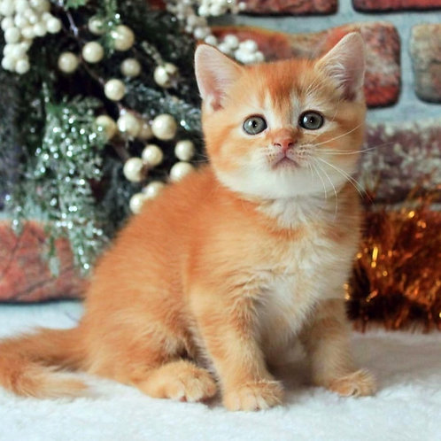 127 Snupy   Scottish straight shorthair male kitten
