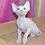 Thumbnail: 610 Kenwood  male Sphynx   kitten