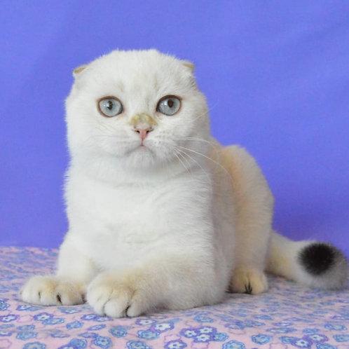 403 Shon   Scottish fold shorthair male kitten