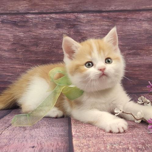 577 Erick   Scottish straight shorthair male kitten
