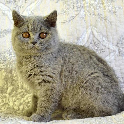 119 Fraser  British shorthair male kitten