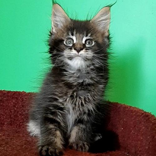 564 Qazanova Maine Coon male kitten