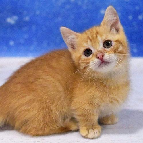 539  Kent  Munchkin male kitten