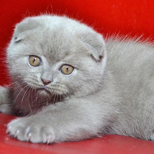 Jake Scottish fold shorthair male kitten