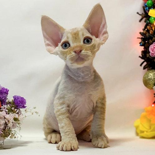 20 Zalman   male kitten Devon Rex