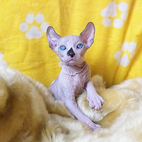 Iris male Elf kitten