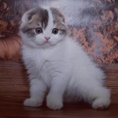 563 Copper  Scottish fold shorthair male kitten