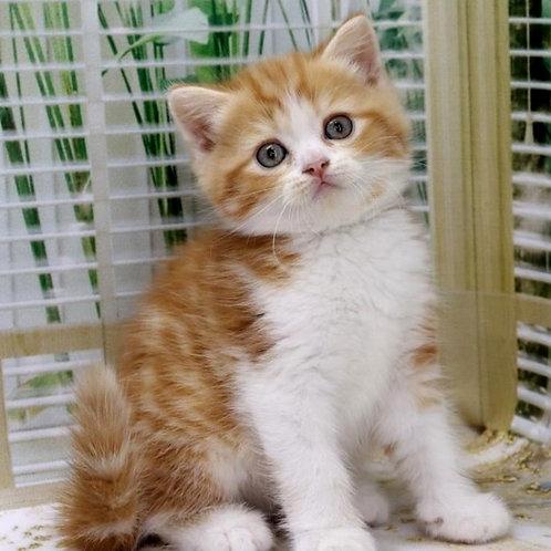 896 Grisha   Scottish straight shorthair male kitten