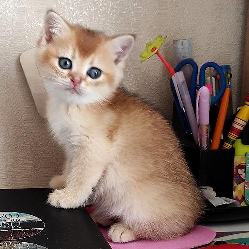 387 Tor  British shorthair male kitten