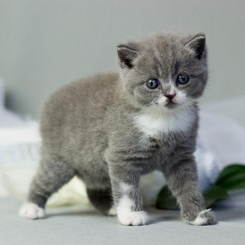 686 Daniel  British shorthair male kitten