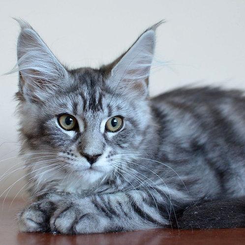 783 Jewel  Maine Coon female kitten