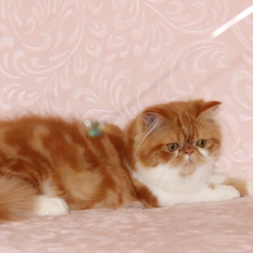 123 Bonitta Persian female kitten
