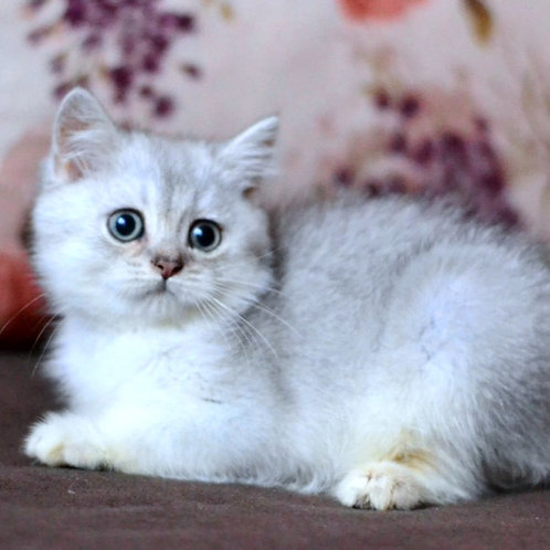 515 Umka  British shorthair male kitten