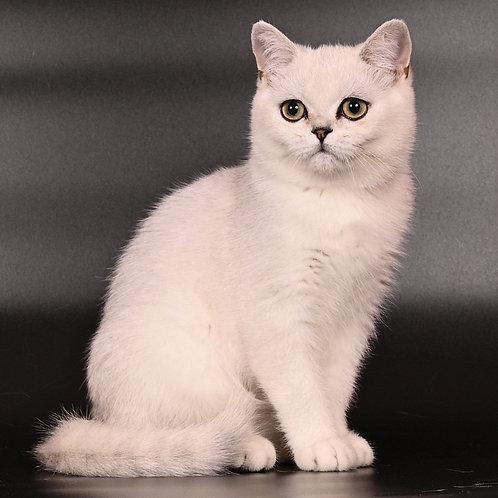 1052 Nibelung  British shorthair male kitten