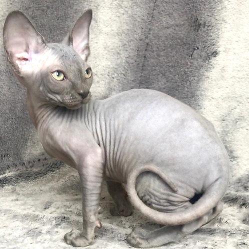 333 Pamela female Sphinx kitten