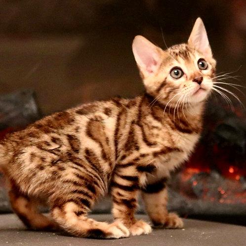 43 Arizona   purebred Bengal female kitten