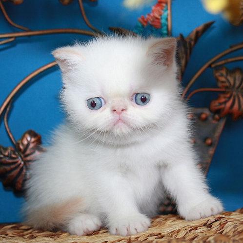 104 Jenny Exotic shorthair female kitten