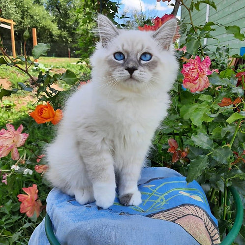 511 Ustin Siberian male kitten
