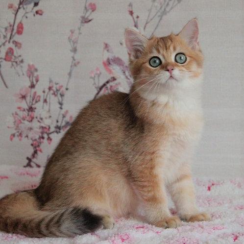 968 Cooper  British shorthair male kitten