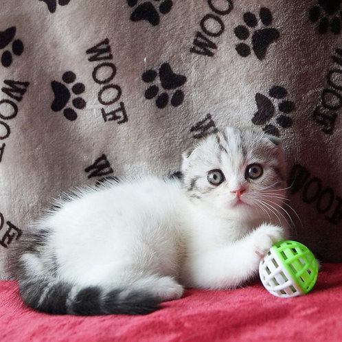Bonya Scottish fold shorthair female kitten