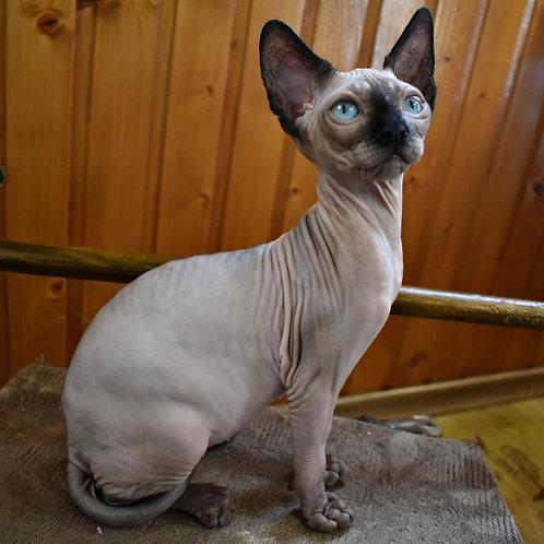 Estel female Sphinx kitten