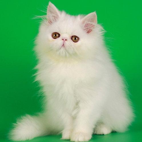 129 Barbie   Persian female kitten