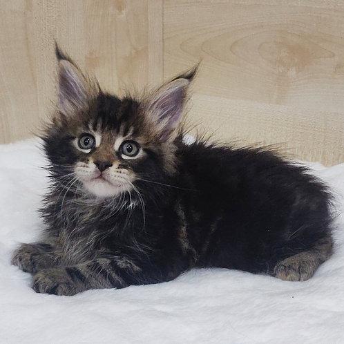 Leon Maine Coon male kitten