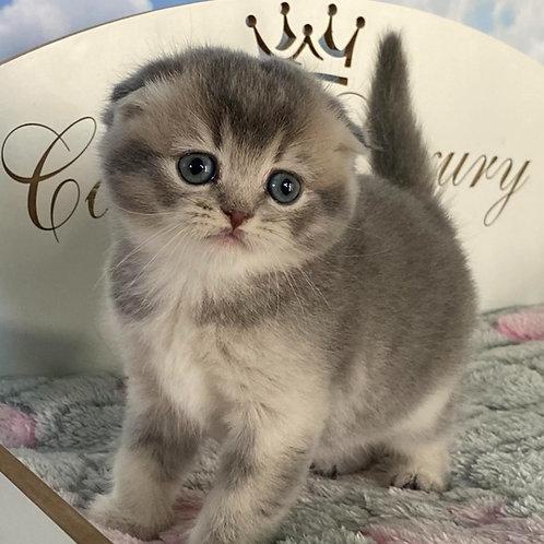 558 Barby Scottish fold shorthair female kitten