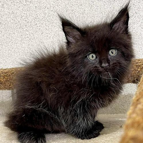 605 Serjio  Maine Coon male kitten