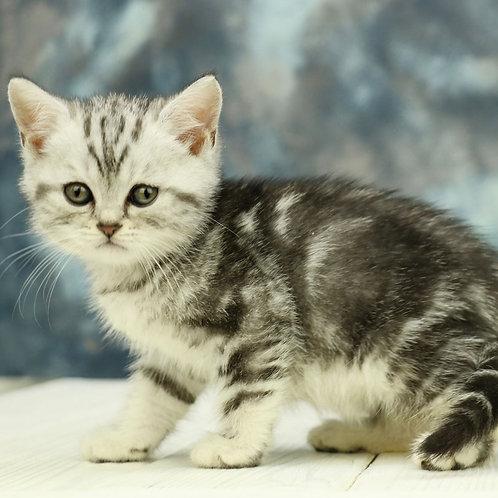1138 Oskar  Scottish straight shorthair male kitten