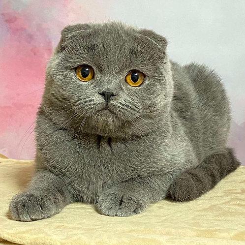 1118 Kris  Scottish fold shorthair male kitten