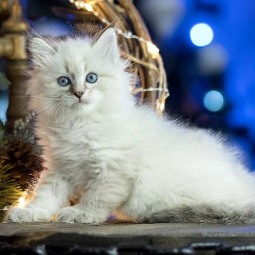 8 Bacchus Siberian male kitten