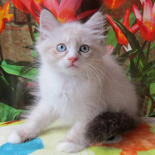 260 Skubi   Siberian male kitten
