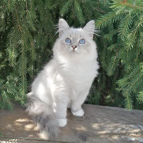 510 Ursula Siberian female kitten