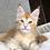 Thumbnail: 756 Hardox  Maine Coon male kitten