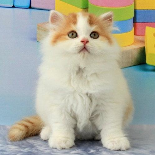 802 Izumchik   Scottish straight longhair male kitten