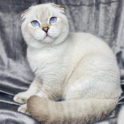 503 Amur      Scottish fold shorthair male kitten