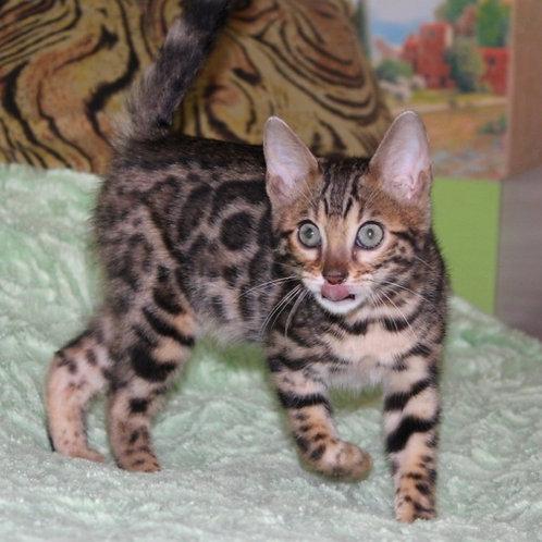 159 Azalia  purebred Bengal female kitten