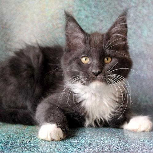 24 Mirra Maine Coon female kitten